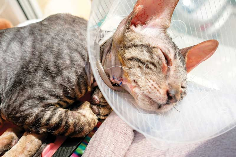 A recent survey of veterinarians found gabapentin is the most popular prescription for chronic musculoskeletal pain in cats—but should it be?