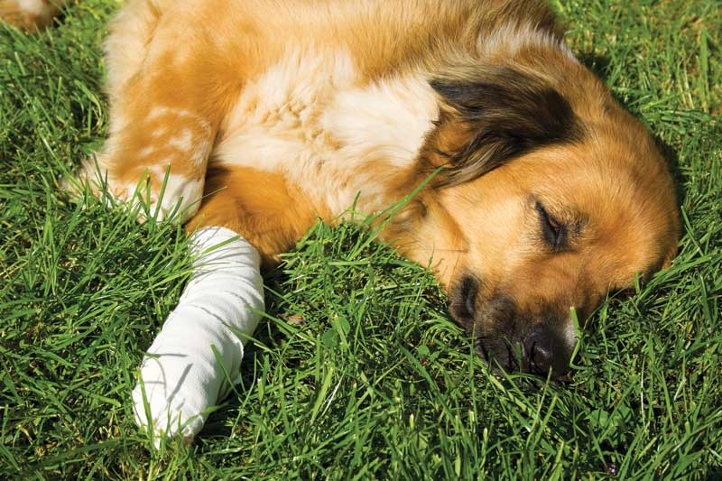 Despite promising evidence from human and pre-clinical research, the extensive use of tramadol as a treatment for acute and chronic pain in dogs has likely resulted in significant undertreatment and unnecessary suffering. Photo ©BigStockPhoto.com