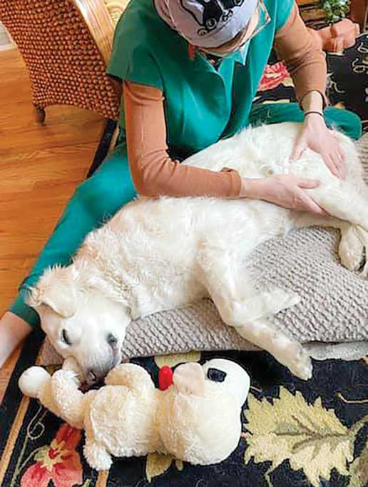 Figure 1: Claire Primo of Peak Animal Wellness and Massage, offers therapeutic massage services to senior Labrador, Spice. Photos courtesy Claire Primo