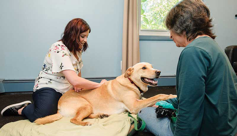 Figure 3: Dr. Alisha Barnes, of Tails Animal Chiropractic Care, provides dental chiropractic adjustment to 6-year-old Labrador retriever, Buddy. Buddy was recovering from two failed TPLO surgeries, and Dr. Barnes was brought on board due to significant compensatory issues and to increase proper range of motion during recovery.