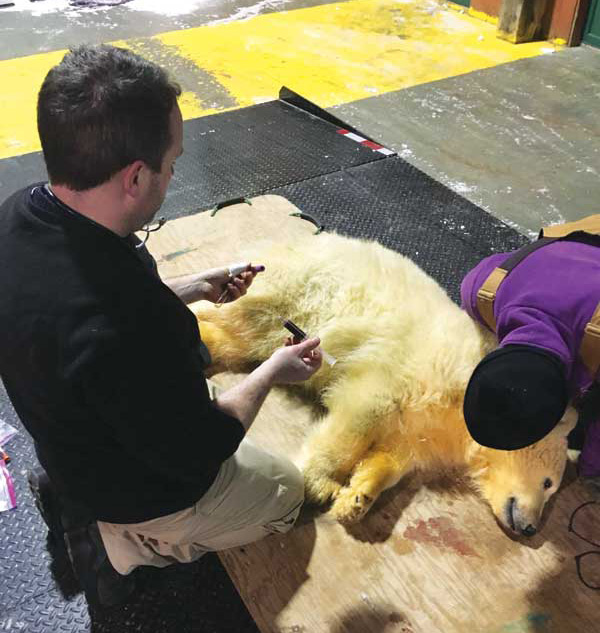 Chris Enright, DVM,  director of veterinary services at Manitoba's Assiniboine Park Zoo and the Leatherdale International Polar Bear Conservation Centre, examines a polar bear. The past century has seen increased involvement from veterinarians in the care and conservation of wildlife species. Photo courtesy Assiniboine Park Conservancy