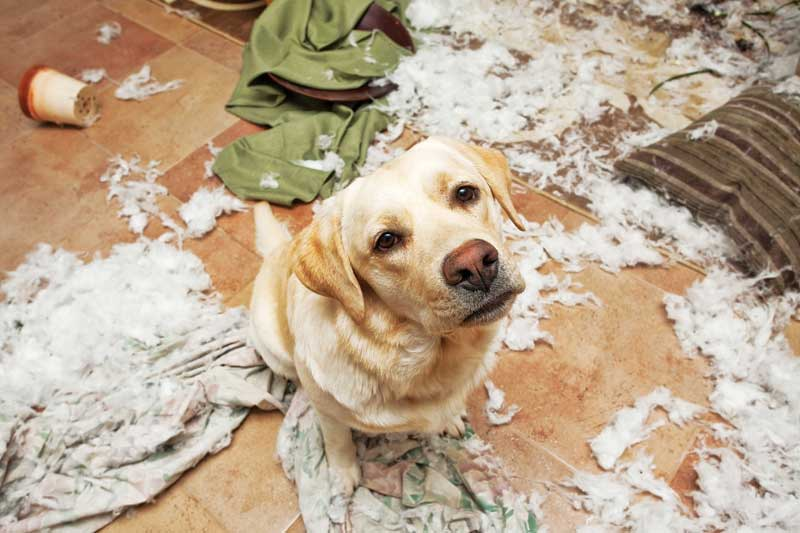 With owners starting to go back to work, pets may find themselves experiencing more separation anxiety now since they've been used to having their humans at home. PHOTO COURTESY ATWSTUDIOS /ISTOCK / GETTY IMAGES PLUS