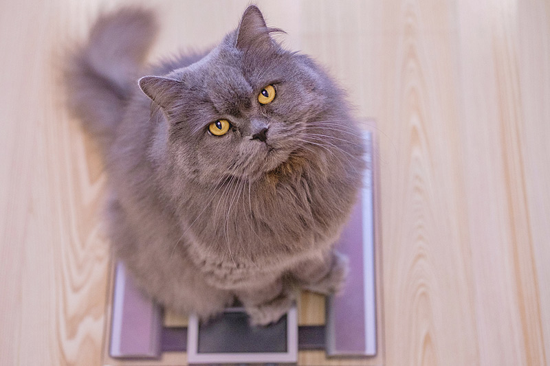 The American Animal Hospital Association (AAHA) new nutritional guidelines encourage veterinarians to take the lead in helping thwart animal obesity. Photo ©BigStockPhoto.com