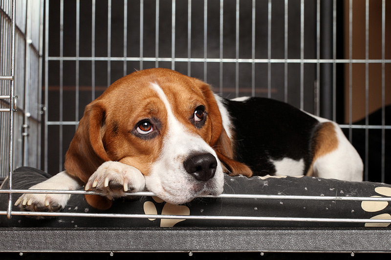 The Healthy Dog Importation Act would provide additional resources to the USDA to monitor the health of dogs being brought into the U.S. Photo ©BigStockPhoto.com