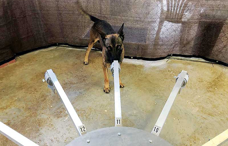 A canine COVID detection candidate investigates scent from a TADD.