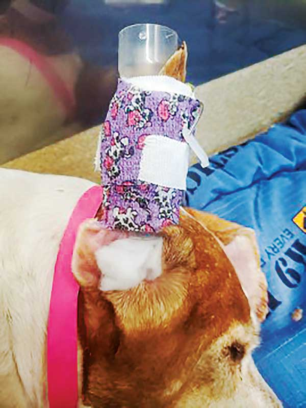 A syringe case can be carefully placed inside the ear and the ear can be wrapped around the case. Photos courtesy Tami Lind