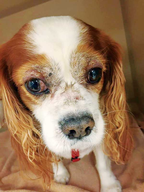 Figure 4: Bilaterally symmetrical crusting, alopecia, and erythema of the periocular and perioral areas in a Cavalier King Charles spaniel with zinc responsive dermatosis Syndrome I.
