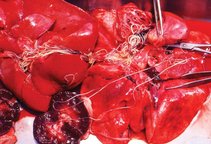 Heartworm found in a dog during a necropsy. Many clinics saw higher cases of heartworm disease last year. PHOTO COURTESY NNEHRING /E+ / GETTY IMAGES