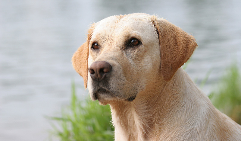Canine research studies exploring bloat, urinary tract infections, and extracorporeal shockwave therapy are set to get a boost in funding, thanks to a newly launched donation matching campaign. Photo ©BigStockPhoto.com