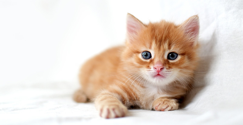 Veterinarians at UC Davis have found a cat's DNA alters how it responds to clopidogrel, a medication used to treat HCM, a heart disease that affects one in seven cats. Photo ©BigStockPhoto.com