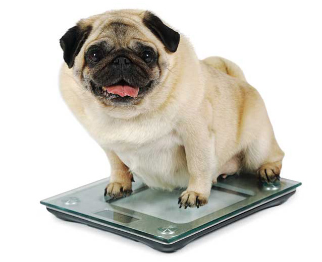 Pugs are prone to obesity, but getting pet owners of all breeds to limit feeding to a level that maintains a healthy body condition is challenging. Photo ©BigStockPhoto.com