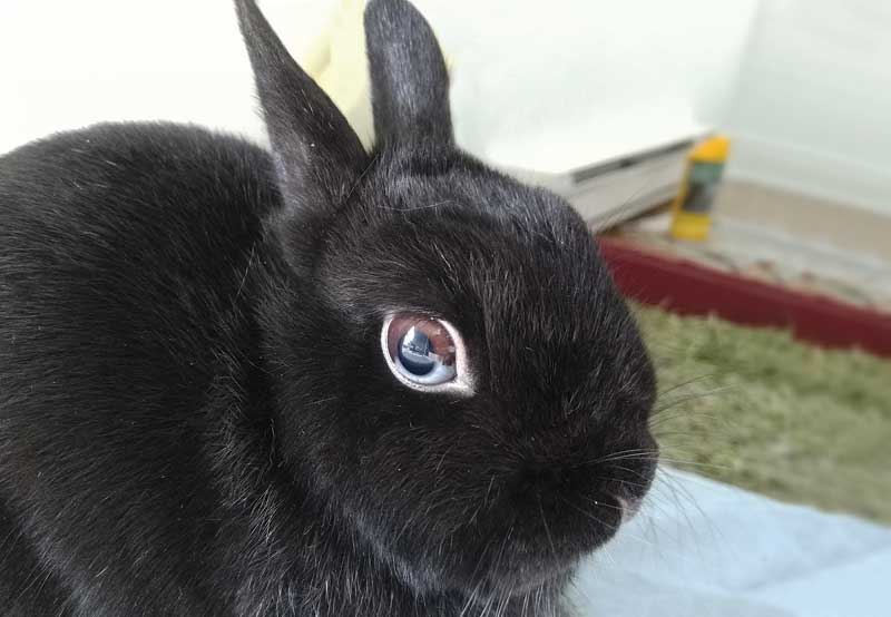 Dental care is an important topic to educate current and potential rabbit owners.