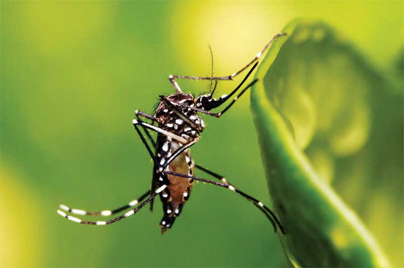 Friendly Mosquitoes do not pose a threat to humans or the environment, as confirmed by the U.S. Food and Drug Administration in 2016 and by the EPA in 2020. Images courtesy Oxitec