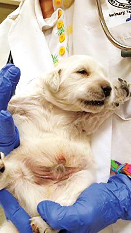 A Labrador retriever puppy with bruising.