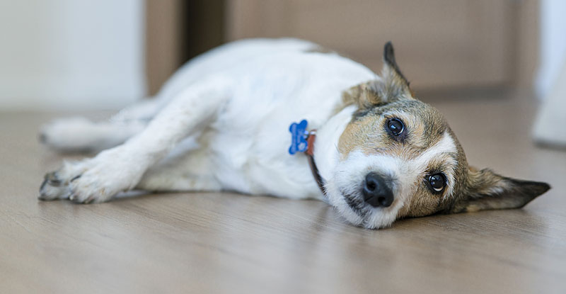 Three investigation sites in the U.S. are now testing an immunotherapy treatment, created by ELIAS Animal Health, for dogs afflicted with oral malignant melanoma, a highly metastatic disease and the most common form of oral cancer observed in canines. Photo ©BigStockPhoto.com