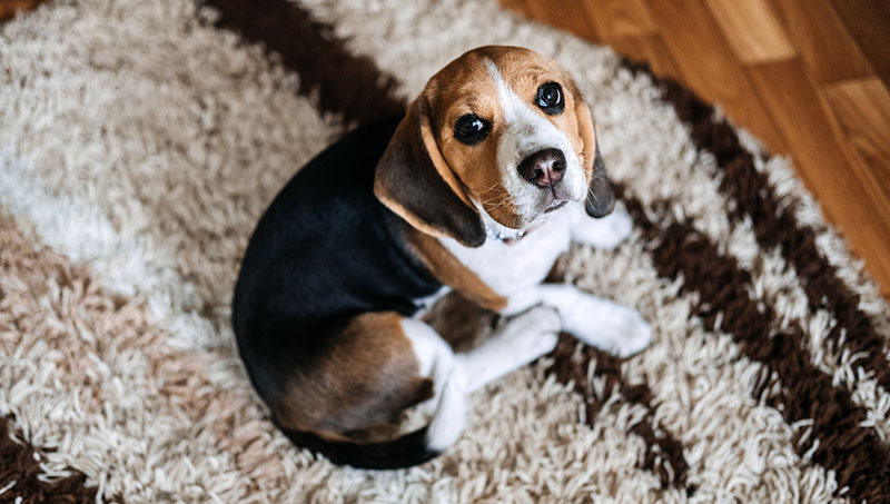 A generic oral suspension used for treating bacterial infections in companion animals has received the green light from the U.S. Food and Drug Administration (FDA). Photo ©BigStockPhoto.com