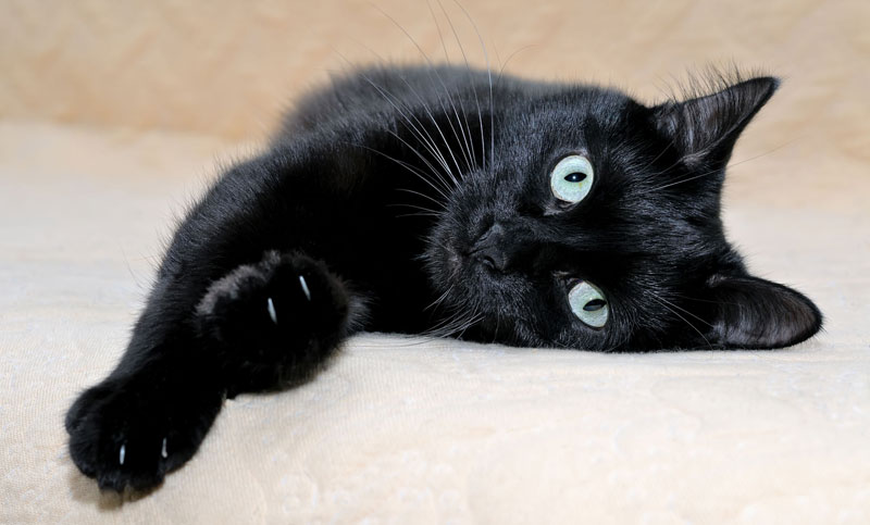 Morris Animal Foundation-funded researchers at Utrecht University in the Netherlands are using nanobody-targeted photodynamic therapy to tackle oral squamous cell carcinoma in feline patients. Photo ©BigStockPhoto.com