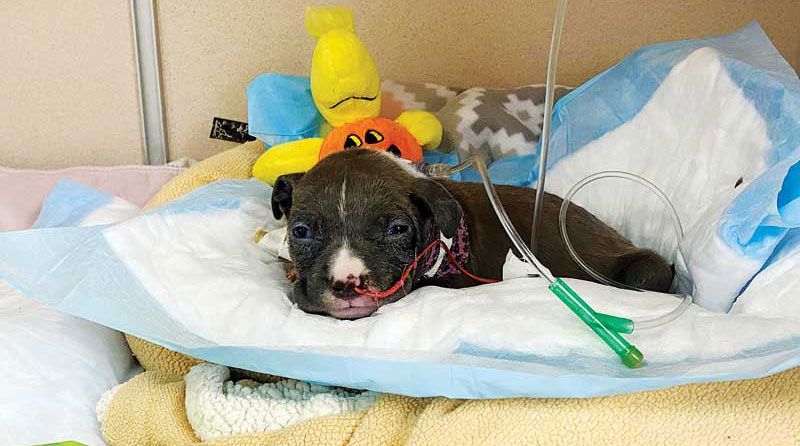 A puppy in the intensive care unit receiving fluids. Photos courtesy Tami Lind