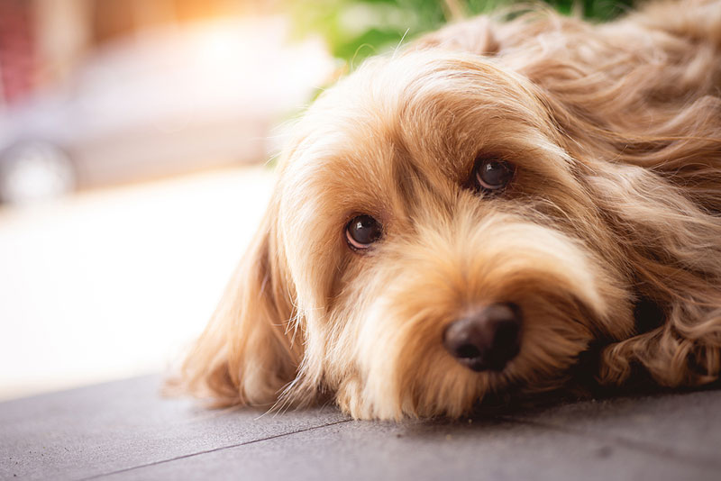 A study conducted by the University of Guelph (U of G) in collaboration with VCA Animal Hospitals reveals veterinarians in Canada and the U.S. are prescribing shorter courses of antibiotics for dogs with urinary tract infections (UTIs). Photo ©BigStockPhoto.com