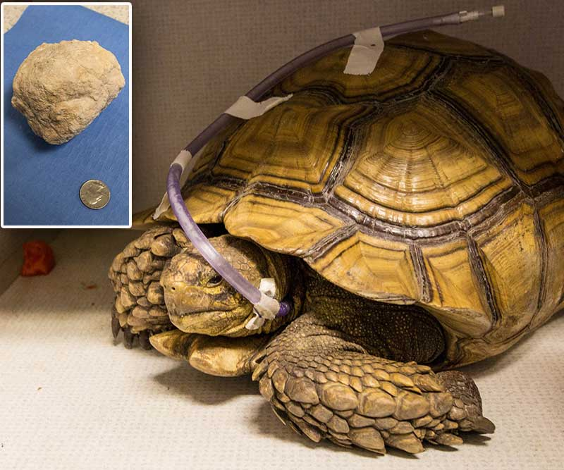 Tortoise Relieved Of Massive Bladder Stone